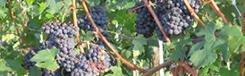 De wijnen van Piemonte